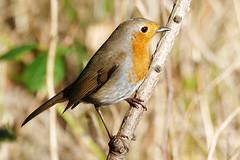 Robin (eric robb niven) Tags: ericrobbniven scotland robin wildlife wildbird nature tentsmuir springwatch