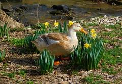 Spring Personified (*amalthea*) Tags: ducks silverappleyardducks heritagebreedlivestock farmanimals