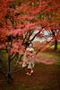Maiko_20171120_12_3 (Maiko & Geiko) Tags: myokakuji temple fukuno kyoto maiko 20171120 舞妓 妙覚寺 ふく乃 京都 宮川町 河よ志 miyagawacho kawayoshi mait