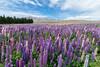 Lupine Flowers, New Zealand (arnaud.badiane) Tags: lupine flowers new zealand lake tekapo travel voyage nature plants kiwi