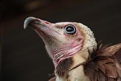 Hooded vulture (K.Verhulst) Tags: hoodedvulture kapgier gier vulture birds bird vogels blijdorp diergaardeblijdorp rotterdam