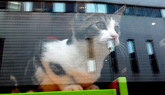 Cat in the window of the Kitty Cafe in Leeds (Tony Worrall) Tags: caught photo shoot shot picture captured cat feline chat khatz pussy puss moggy window animal beast creature kept kittycafe cafe inside cute fun catty natural interior reflection glass image leeds gatto katze