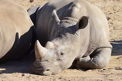 DSC_4252 (Andrew Nakamura) Tags: animal mammal rhino rhinoceros whiterhinoceros southernwhiterhinoceros southernwhiterhino rhinojuvenile lyingdown sleeping naptime sandiegozoosafaripark safaripark escondido