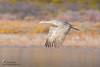 Sandhill Crane (Ray Robles) Tags: sandhill crane bosque del apache bird nikon birds birding birdperfect birdwatching birdphotography