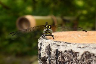 オナガサナエ ♀ (Melligomphus viridicostus)