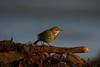 rock pipit (jon lees) Tags: bird foreshore beach coastal countydown coast northernireland portaferry