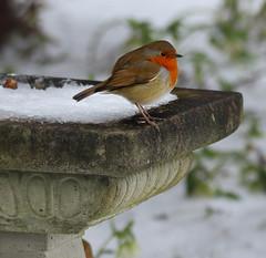 1S9A7620 (saundersfay) Tags: robin garden snow bath winter blackbirds pigeon magpie