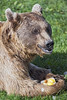 """Bear with """"ice cream"""" (Tambako the Jaguar) Tags: green brown syrian bear lying portrait grass holding ice food fruits profile face paws claws tierparkgoldau zoo switzerland nikon d5"""