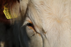 Thinking - Delta Maconi Chrissy (excellentzebu1050) Tags: livestock dairycows cattle cow closeup animal animalportraits outdoor coth5