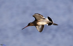 Black tailed godwit. (spw6156 - Over 6,200,020 Views) Tags: black tailed godwit iso 640 cropped fast little blighters copyright steve waterhouse