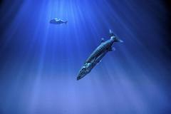 The hunter and the hunted. (wimvandemeerendonk, back home) Tags: arnhem aquarium burgers zoo burgerszoo blue fish netherlands nederland nature ocean panorama sony wimvandem barracuda