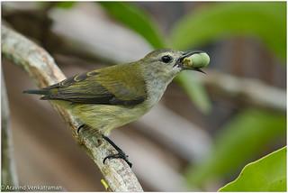 Andaman Flowerpecker