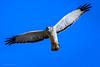 Northern Harrier - Male (halladaybill) Tags: crystalcovestatepark northernharrier newportbeach california unitedstates us raptor orangecounty male grayghost mouseeyesview nikond500 nikkor200500zoom