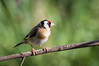 my favourite flash of colour (Emma Varley) Tags: goldfinch bird garden uk sussex bokeh green background red yellow brown white