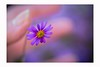 Touch me, so i can feel (Krasne oci) Tags: flower macro soft hand smallflowers daisy photoart evabartos love poetry
