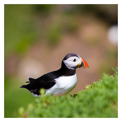 Puffin (Minibert93) Tags: puffin nature bird bokeh salteeislands wexford colour wildlife ireland