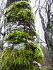 Mossy Birch (ambrknr) Tags: tree birch moss