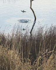 kingfisher (colskiguitar) Tags: kingfisher montrose basin scottish wildlife trust diving