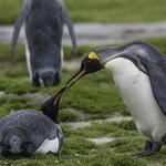 King Penguins; Salisbury Plain thumbnail