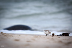 Sanderling (Calidris alba) - unter Beobachtung auf der Suche (stein.anthony) Tags: nordsee insel helgoland vögel bird strand meer schleswigholstein deutschland germany beach wildlife robbe