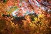 20180118 小石川後楽園【小盧山付近の紅葉】 (syashindorakunin) Tags: 紅葉 小石川後楽園 autumnleaves maple momiji japan koishikawakorakuengardens