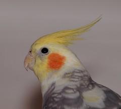 2013_02_0003 (petermit2) Tags: cockatiel pet bird
