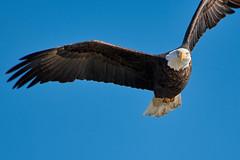 2018.01.27 Eagle outing in LeClaire, Iowa, 0096 (Mike Gatzke) Tags: leclaire iowa unitedstates usa bald eagle haliaeetus leucocephalus mississippi river ld14