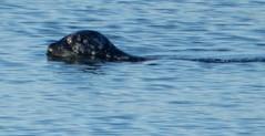 Seal swimming off the Promenade (Beth M527) Tags: seals animals