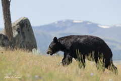 Black Bear On The Move_T3W0568 (Alfred J. Lockwood Photography) Tags: alfredjlockwood nature wildlife mammal blackbear yellowstonenationalpark grasses mountain morning summer wyoming clearsky