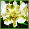 The white and the green. #Takoma #dc #dclife #washingtondc #iphone #iPhonemacro #macro  #flower #flowersofinstagram (Kindle Girl) Tags: iphone takoma dc dclife washingtondc iphonemacro macro flower flowersofinstagram