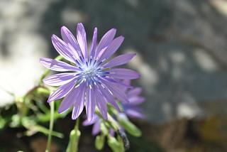 Laitue vivace- Lactuca perennis.