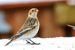 The snow bounties have finally found my bird feeding table ;) (eygloaradottir) Tags: 2018 selfoss snjótittlingursólskríkjaplectrophenaxnivalis fuglar janúar snjór spörfuglarpasseriformes vetur