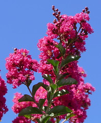 Crepe Myrtle in my garden (The Pocket Rocket, On and Off.) Tags: crepemyrtle mygarden