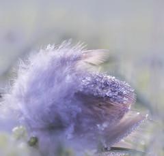 Karpfen Feder ;) (heike_hechelmann) Tags: feder bokeh leica elmarit 2860 winterwonderland garden fisch mystik smooth macro