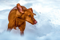 The Snow Queen (Neil_Wagner) Tags: snow action hungarian vizsla ripley running