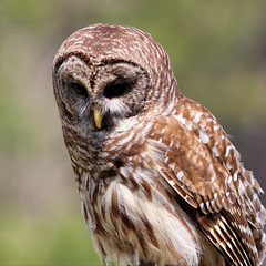 Deep in Thought (dianne_stankiewicz) Tags: bird barredowl owl wildlife raptor nature coth5