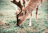 (Bazzerio) Tags: deer analogue analog animal travel grainy bazzerio majestic nature eating grazing antlers wild camping vintage documentary grass 35mm film