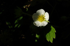 Strawberry blossom (carlosfx3d) Tags: strawberry plant nature background wild white beautiful garden blooming green summer natural leaf spring season blossom bud blossoms beauty strawberries yellow bright flower floral blossoming