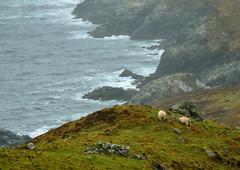 Irish cliché (Ryad.Hitouche) Tags: landscape ireland irlande mouton sheep green beach sea cliff rain irish