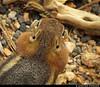 20160821_52 Golden-mantled Ground Squirrel (Spermophilus lateralis)? | Bryce Canyon, Utah (ratexla) Tags: ratexla'sgreentortoisetrip2016 ratexlascanyonsofthewesttrip2016 nonhumananimals greentortoise canyonsofthewest 21aug2016 2016 canonpowershotsx50hs bryce brycecanyon utah usa theus unitedstates theunitedstates america northamerica nordamerika earth tellus photophotospicturepicturesimageimagesfotofotonbildbilder wanderlust travel travelling traveling journey vacation holiday semester resaresor ontheroad hiking hike sommar summer beautiful nature life organism nonhumananimal animal animals djur cute cool wild wildlife vild vilda biology zoology goldenmantledgroundsquirrel spermophiluslateralis