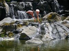 2013-01-24 13.04.25 (Silvia Pose) Tags: aves flamencos temaiken naturaleza parque agua roca río cascada