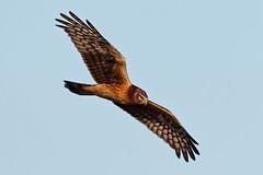 Northern Harrier in flight (ferglandfoto) Tags: d5c8962 naturepicture northernharrier northernharrierinflight bif birdinflight circuscyaneus pnw wildlife wildlifepic wildlifephotography natureconservancy thenatureconservancy