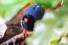 Do I Know You? (Jimweaver) Tags: bird blue magpie taiwan taipei mountain forest woods tree 長尾山娘 台灣藍鵲 山 森林 樹 眼 鳥 木質 天空 杆 線條 asia 亞洲 canon eos 80d