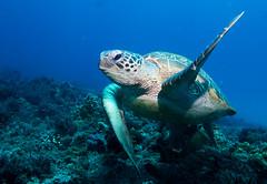 High five! (or is that one?) Green turtle Chelonia mydas #marineexplorer (Marine Explorer) Tags: scuba nature marine underwater australia marineexplorer