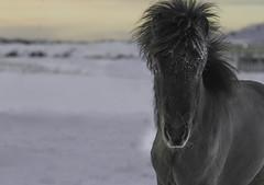 Trostan (Anna.Andres) Tags: 16feb 2018 hesthúsið´ sprettur tros icelandichorse foal folald annaguðmundsdóttir iceland ísland hestur íslenskihesturinn horse animal
