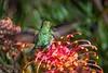 _WCB6712 Anna's hummingbird- Calypte anna (wbishoff) Tags: grevillea hummingbird ucscarboretumbotanicgarden