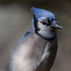 Brrrr (Fred Roe) Tags: nikond7100 nikkorafs80400mmf4556ged nikonafsteleconvertertc14eii nature wildlife birds birding birdwatching birdwatcher bluejay cyanocittacristata peacevalleypark