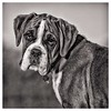 Botox. (bainebiker) Tags: dog boxer dogportrait puppy animal canonef70200mmf28lusm brindle shoebury essex uk monochrome