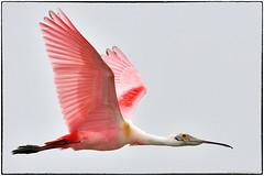 Roseate Spoonbill (RKop) Tags: alafiabnaks tampa florida raphaelkopanphotography d500 nikkor600f4evr tripod wildlife