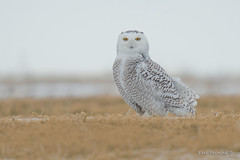 one day later... (Earl Reinink) Tags: owl raptor bird animal field pose posing earl reinink earlreinink snowyowl niagara uzddraudza